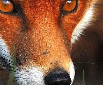 red-fox2cropped.jpg