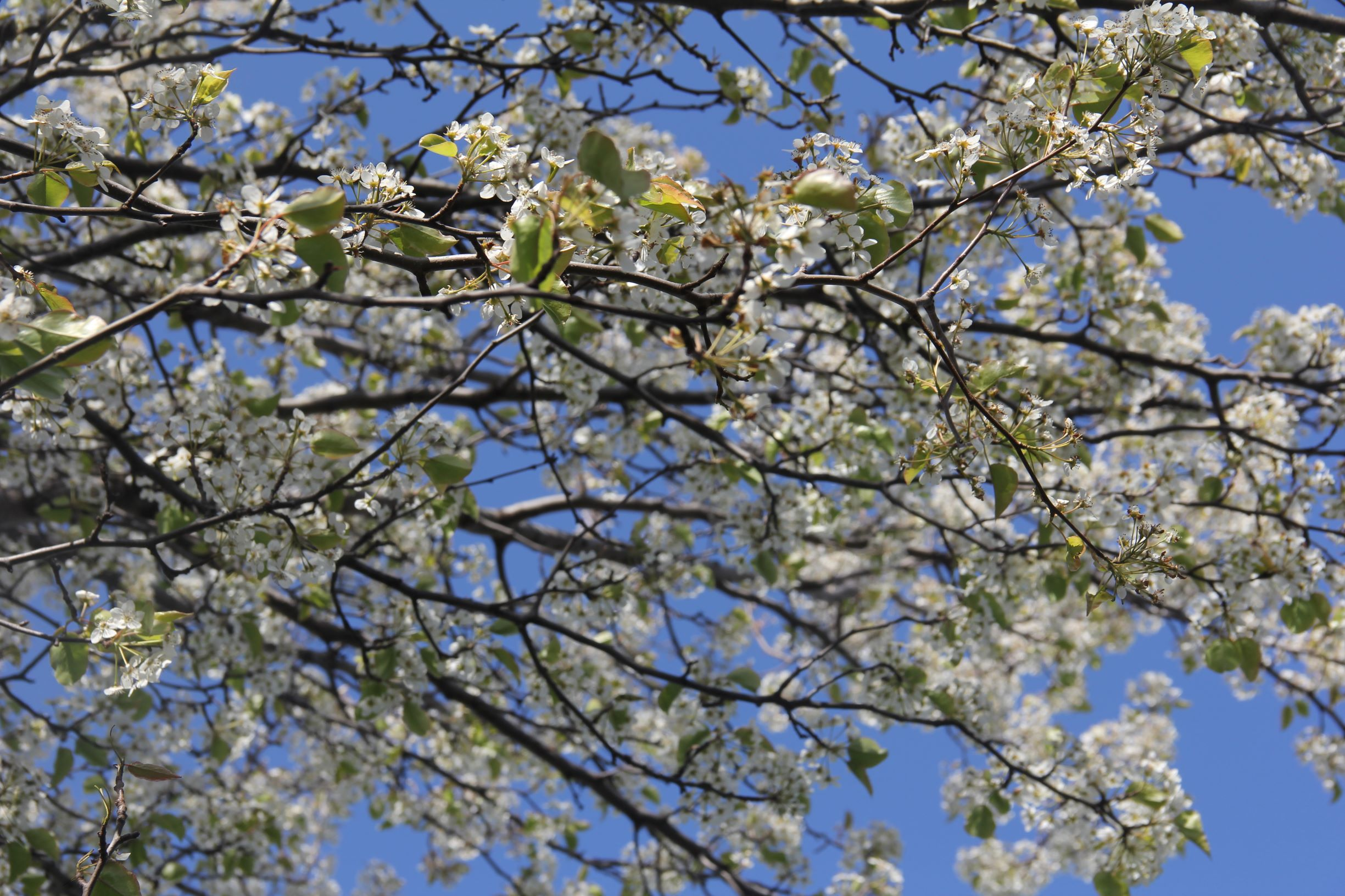 flowering tree2.JPG
